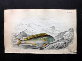 Jardine C1840 Hand Col Fish Print. Dolphin of the Ancients